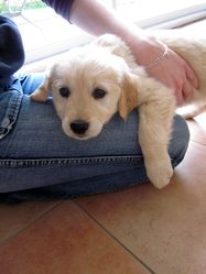Happle, chien Golden Retriever