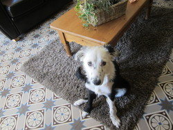 Happy, chien Border Collie