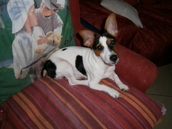 Happy, chien Jack Russell Terrier