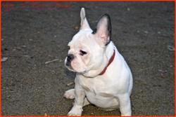 Happy, chien Bouledogue français