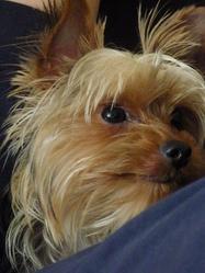 Happy, chien Yorkshire Terrier