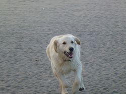 Happy, chien Golden Retriever