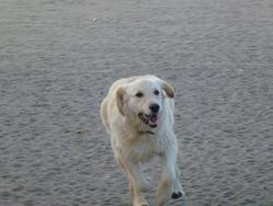 Happy, chien Golden Retriever
