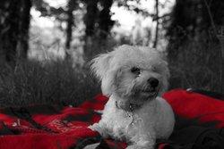Happy, chien Bichon à poil frisé