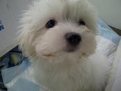Happy, chien Bichon maltais