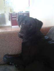 Happy, chien Labrador Retriever