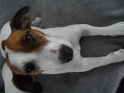 Happy, chien Jack Russell Terrier