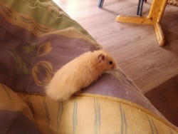 Happy, rongeur Hamster