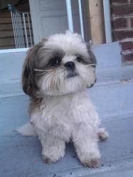 Happy, chien Shih Tzu