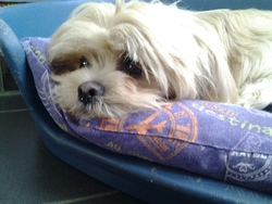 Happy, chien Lhassa Apso
