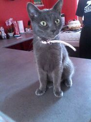 Happy, chat Chartreux