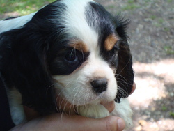 Happy, chien Cavalier King Charles Spaniel