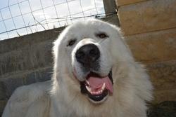 Happy, chien Chien de montagne des Pyrénées