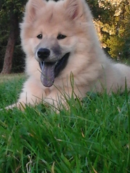 Happy, chien Eurasier