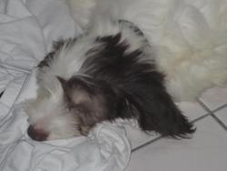 Happy, chien Berger polonais de plaine