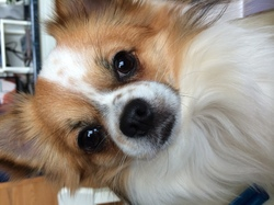 Happy, chien Chihuahua
