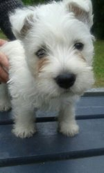 Happy, chien West Highland White Terrier