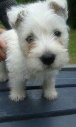 Happy, chien West Highland White Terrier