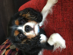Happy, chien Cavalier King Charles Spaniel