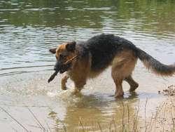 Happy, chien Berger allemand