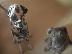 Happy, chien Cane Corso