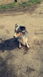 Happy, chien Berger australien