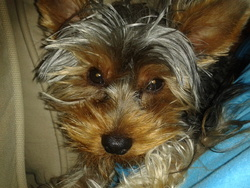 Happy, chien Yorkshire Terrier