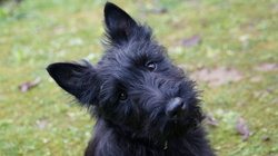 Happy, chien Scottish Terrier
