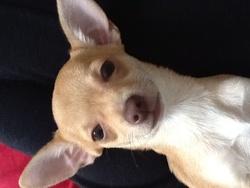 Happy , chien Chihuahua