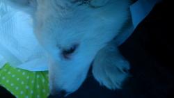 Happy, chien Berger blanc suisse