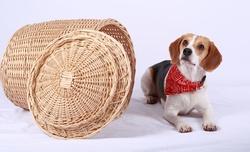 Happy, chien Beagle