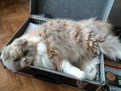 Happy Blondie, chat Scottish Fold à poil long