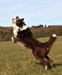Happy Heaven, chien Border Collie