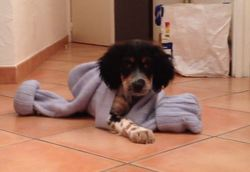 Happy Sam De Louhossoa, chien Setter anglais