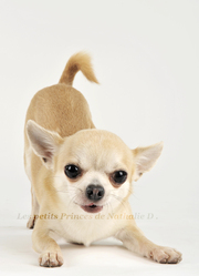 Happy-Secret, chien Chihuahua