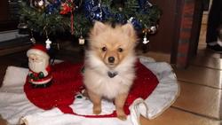 Hâpy, chien Spitz allemand