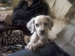 Hapyy, chien Setter anglais