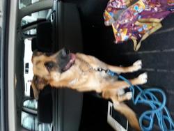 Hara, chien Berger allemand