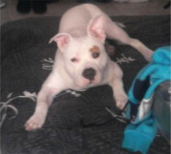Harco, chien American Staffordshire Terrier