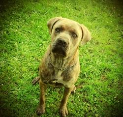 Harcos, chien Cane Corso