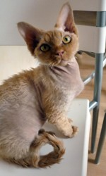 Hares, chat Devon Rex