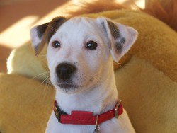 Haria, chien Jack Russell Terrier