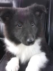 Haribo, chien Berger des Shetland