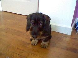 Haribo, chien Teckel