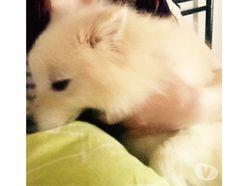 Haribo, chien Spitz japonais