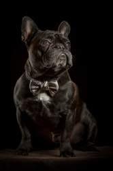 Haribo, chien Bouledogue français