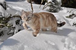 Haribo, chat Siamois
