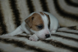 Haribo, chien Jack Russell Terrier