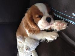 Haribo, chien Cavalier King Charles Spaniel
