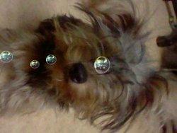 Haribo, chien Yorkshire Terrier